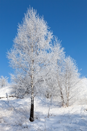 frozen tree with blue sky as background  photo