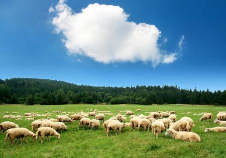 grazing land: Herd of sheep