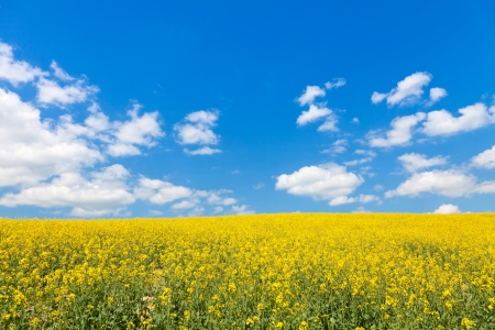 mustard field: bright yellow canola or rapeseed field and perfect blue sky