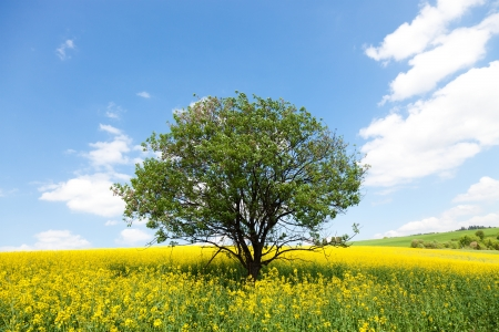 Lone ree in yellow rapeseed field  photo