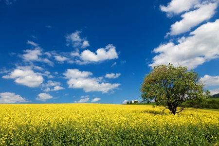 flowering field: field of rapeseed with beautiful cloud - plant for green energy