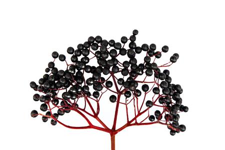 black berry: Black Elderberry isolated on white background Stock Photo