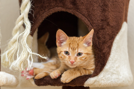 Red kitten on a cat tree
