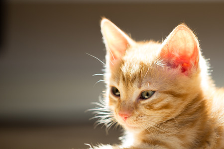 Littel red kitten