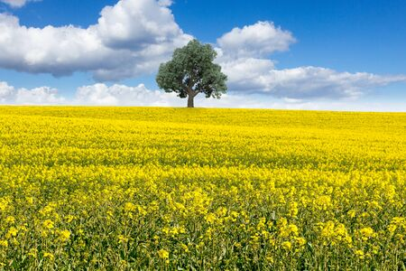 Large tree in a yellow rapeseed field Stock Photo