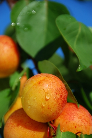 Apricots growing on a tree in organic farm photo