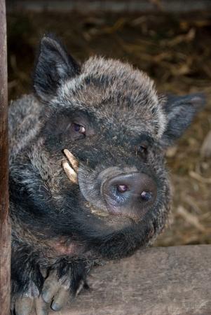 wil: Wild black pig sty peering at visitors.