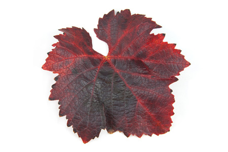 annealed: autumn color of leaves Grape red annealed Stock Photo