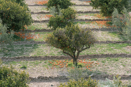 orange trees after a strong wind that dropped oranges to the ground