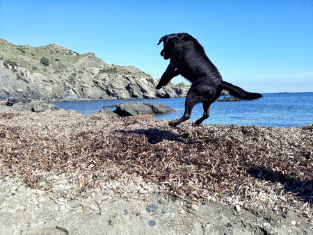 Happy black labrador jumping on the beach.
