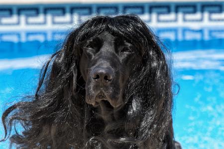Dog labrador with long hair, funny dog.