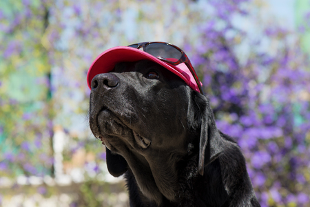Dog labrador with sunglasses and hat, funny dog.