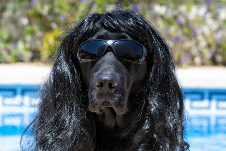 Dog labrador with sunglasses and long hair, funny dog.