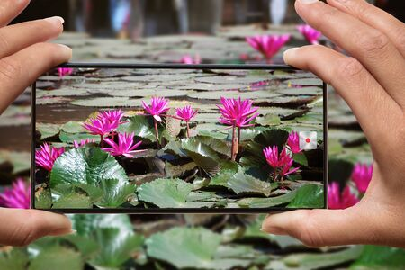 Woman photographing on cell phone blooming pink water lilies on a lake in Thailand Zdjęcie Seryjne