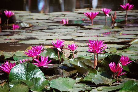 Blooming pink water lilies on a lake in Thailand