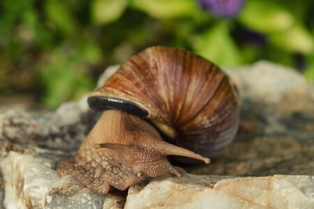 Big african snail on rock in the background of flowers.