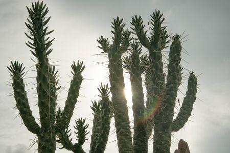 Detail of cactus on desert sunset with sun.