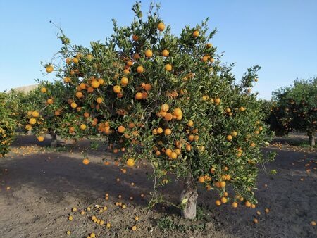 Orchard of oranges with ripe oranges, in sunny day. Stock Photo