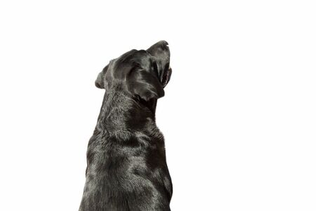 Soft focus close-up of a Labrador seen from behind on white background.