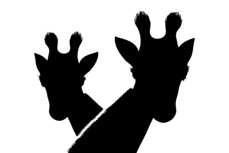 Vector silhouette of couple of giraffes on white background. Symbol of animal.