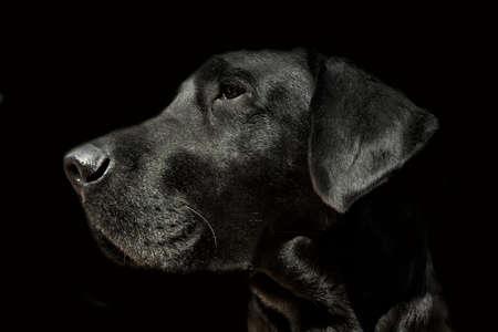 Soft focus Labrador dog head on black background