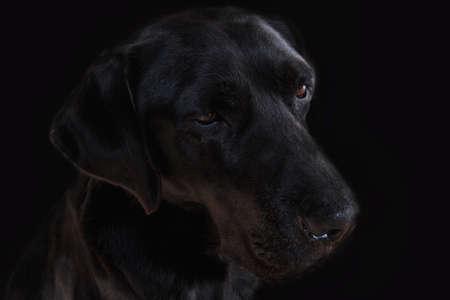 Labrador dog head on black background 版權商用圖片