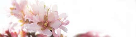 Abstract blurred and bokeh background almond tree blossom in springtime. 版權商用圖片