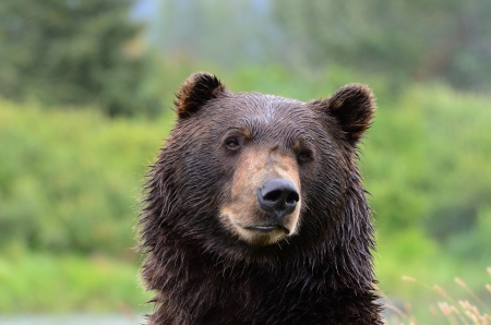 grizzly bear: Close up head shot of brown grizzly bear, Alaska Stock Photo
