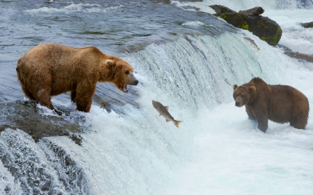wet bear: A grizzly bear hunting salmon at Brooks falls  Coastal Brown Grizzly Bears fishing at Katmai National Park, Alaska