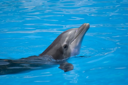 cetacean: Detailed dolphin in a blue water
