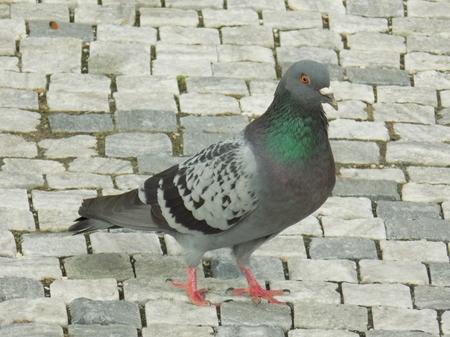 fledgling: Pigeon