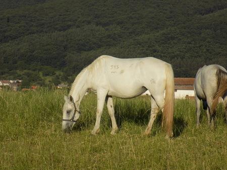 grazing: Horse grazing