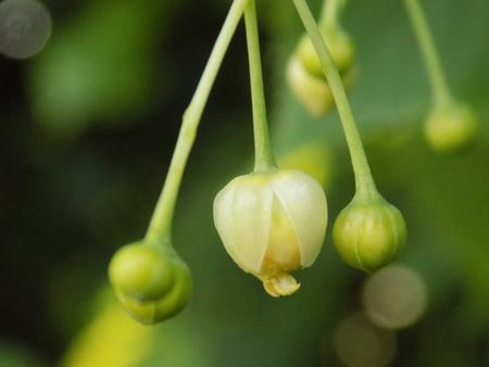 tilo: flor de tilo