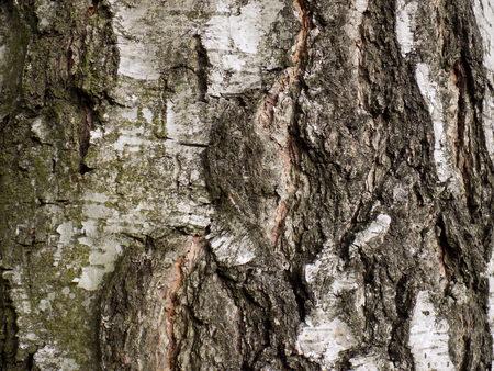 bark background: Birch tree bark texture