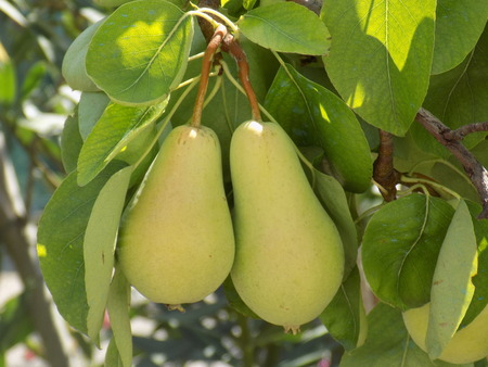 fructose: Two pears on tree