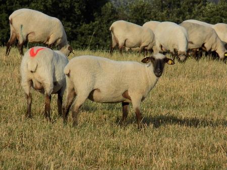 sheep eye: Sheeps grazing