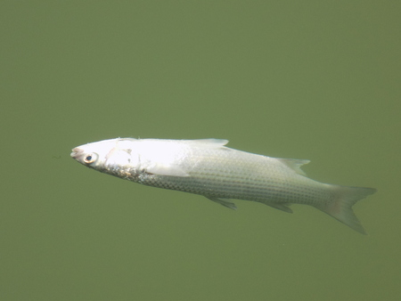 dead fish: Dead fish in water