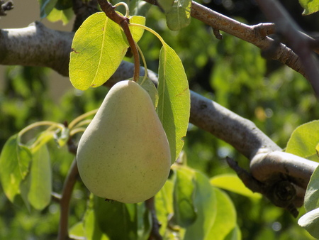 fructose: Pear on tree