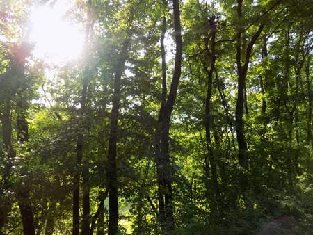 deciduous: Deciduous forest and sun