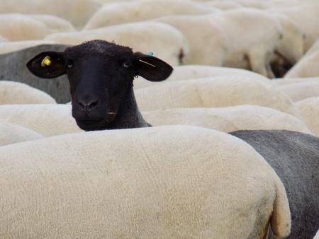oveja negra: negro ovejas