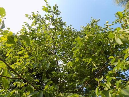 walnut tree: Walnut tree and sky Stock Photo