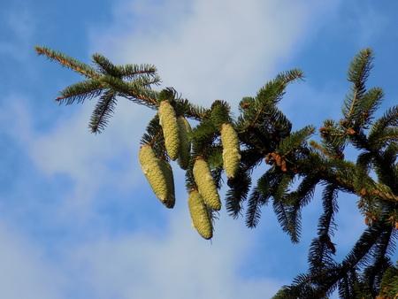 immature: Immature cones on spruce tree
