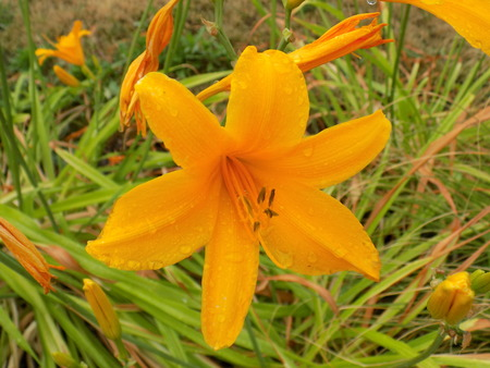 orange lily: Orange lily flower