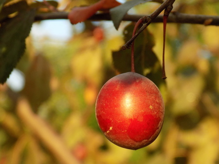 fructose: Red greengage Stock Photo