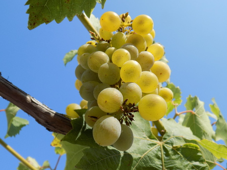 fructose: Grapes