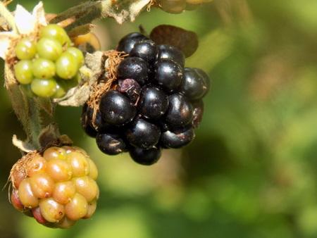 blackberry: Blackberry on bush Stock Photo
