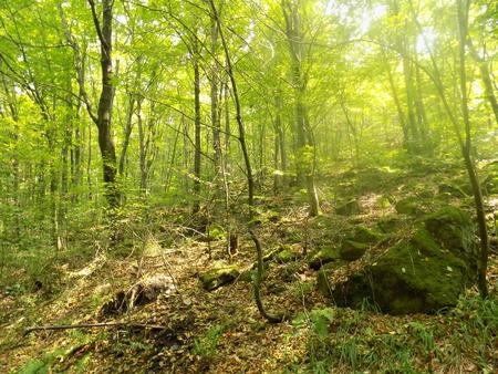 deciduous forest: Fog in deciduous forest