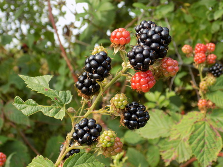 fructose: Blackberries on the bush