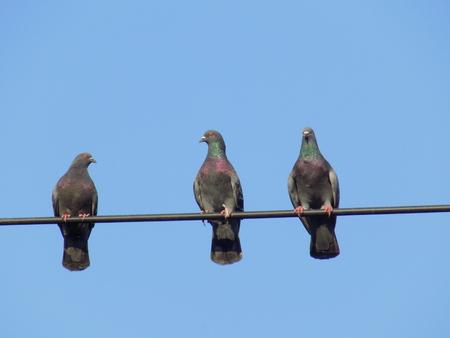 beak pigeon: Pigeons on cable