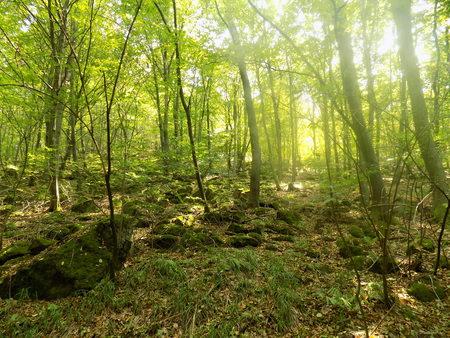 deciduous: Fog in deciduous forest